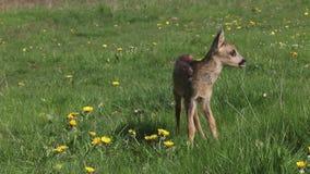Roe Deer, capreolus del capreolus, Fawn Walking en el prado con las flores amarillas, Normandía en Francia, metrajes