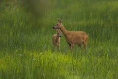 Roe Deer, capreolus do Capreolus, cervo pequeno foto de stock