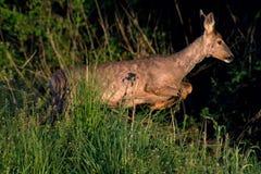 Roe deer Capreolus capreolus royalty free stock photography