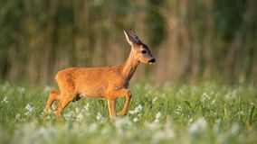 Roe deer fawn walking on a meadow with wildflowers stock photos