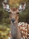 Roe deer Capreolus capreolus. Portrait in forest stock photo