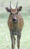 Roe deer Stock Images
