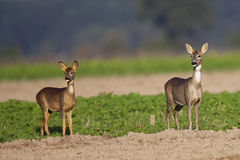 Roe-deer with a child Stock Photo