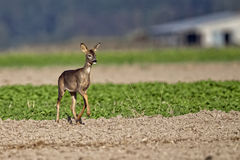 Roe-deer in a clearing Stock Photos