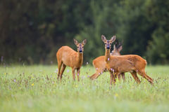 Roe-deer in a clearing Stock Image