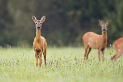 Roe-deer in a clearing Royalty Free Stock Photos