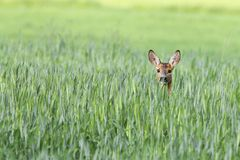 Roe-deer in a clearing Stock Images