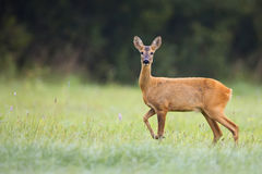 Roe-deer in a clearing Royalty Free Stock Image
