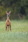 Roe deer in a clearing Stock Photos