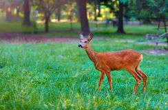 Roe deer on clearing Royalty Free Stock Photography