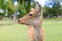 Roe deer close up Stock Photos