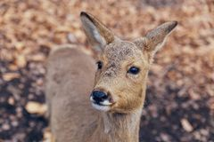 Roe deer close up portrait in the forest royalty free stock photos