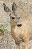 Roe Deer closeup Royalty Free Stock Photo