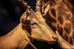 Roe Deer closeup, Deer head. On display in the Museum of Natural History, Beijing, China stock photography