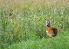 Roe deer in countryside. Scenic view of European roe deer in countryside Stock Photos