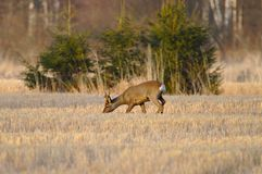 Roe deer on a crop field stock images
