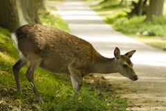 Roe deer crossing a road royalty free stock photography