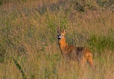 Roe deer Stock Photos