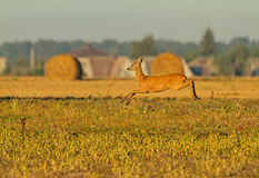 Roe Deer in de lucht Royalty-vrije Stock Fotografie