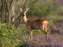 Roe deer doe stock images