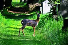 Roe Deer Doe Fotografia Stock