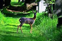 Roe Deer Doe fotografía de archivo