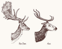 Roe deer or doe, axis or indian dotted vector hand drawn illustration, engraved wild animals with antlers or horns. Vintage looking heads side view royalty free illustration