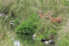 Roe deer with doe Stock Image