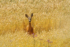 Roe deer doe in beautiful wheat field Stock Image