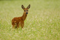 Roe deer doe in buckwheat royalty free stock photography