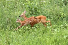 Roe deer doe and calf jumping Royalty Free Stock Photos