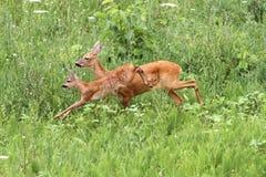 Roe deer doe and calf jumping royalty free stock photos