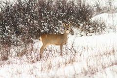 Roe deer doe looking at the camera Stock Image