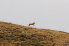 Roe deer doe running Stock Image