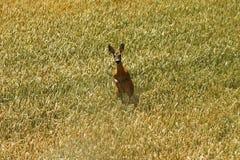 Roe deer doe running towards the camera Royalty Free Stock Photos