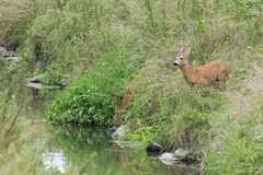 Roe deer with doe Stock Photography