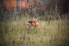 Roe deer doe in sunset light Royalty Free Stock Images