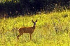 Roe deer doe in sunset orange  light Stock Photography