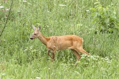 Roe deer doe walking Stock Photography