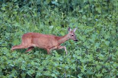 Roe deer doe walking tranquil Royalty Free Stock Photography