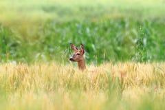 Roe deer doe in wheat field Stock Images
