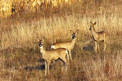 Roe deer doe with youngsters Stock Images