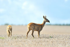 Roe deer in dry field. Two roe deer in dry countryside field with blue sky background Stock Photos