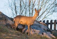 Roe deer in dusk. Roe deer standing on boulders in a slope in the dusk stock photos