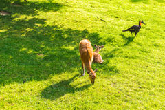 Free Roe Deer Eating Fresh Grass On The Meadow. Wildlife, Animals, Zoo And Mammals Concept Royalty Free Stock Image - 98724406