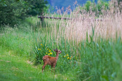 Roe deer eating Royalty Free Stock Photography