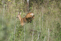 Roe deer escaping from the photographer Royalty Free Stock Photography