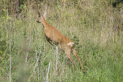 Roe deer escaping from the photographer Royalty Free Stock Image