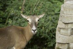 Roe Deer europeo Immagine Stock Libera da Diritti