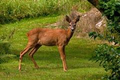 Roe Deer féminin se tenant debout dans un domaine regardant la caméra photo libre de droits